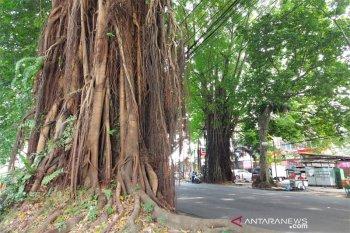 Akar pohon usia ratusan tahun di Bogor Barat