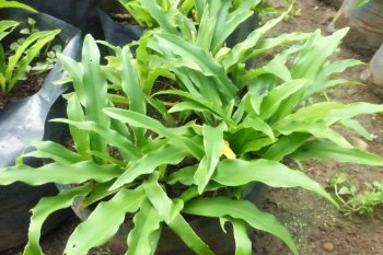 Dosen IPB University ciptakan obat pelangsing herbal Prolislim