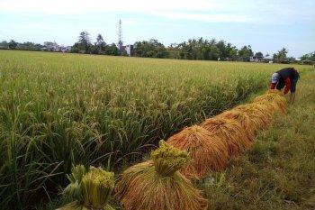 Hari Tani, Peran petani dalam rantai pasok beras perlu ditingkatkan