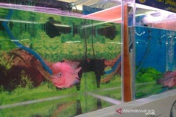 Produksi ikan budidaya di Bengkulu terus merosot