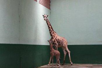 Taman Safari Prigen Pasuruan tambah koleksi Jerapah dan Singa