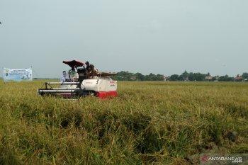 Karawang optimistis capai target produksi gabah kering panen 1,35 juta ton padi