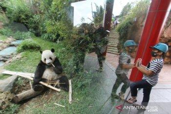 Taman Safari Bogor peringati tiga tahun kedatangan Huchun dan Caitao