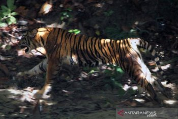 Dua sapi milik warga Aceh Selatan mati diduga dimangsa harimau, ditemukan bekas cakaran dan gigitan
