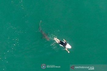 Seorang pria tewas akibat serangan hiu