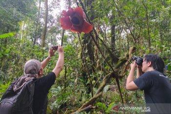 Rafflesia di Bengkulu mekar menggantung pada tanaman inang
