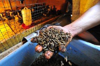 Budi daya ulat magot untuk pakan ternak