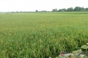 Pemerintah Kabupaten Penajam diminta cegah lahan sawah terus tergerus