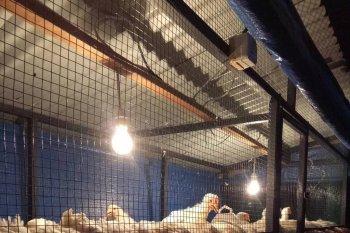 Dosen Unsyiah kembangkan ayam organik