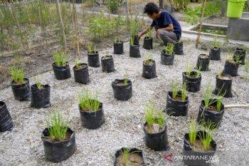 Uji coba pemupukan organik bawang batu di Sigi
