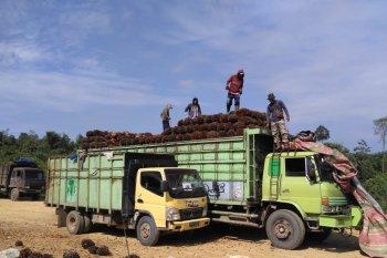 Harga kelapa sawit di Batanghari naik menjadi Rp1.800 per kilogram