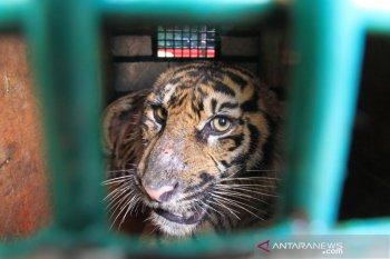 Pakar: Harimau bisa beradaptasi dengan manusia