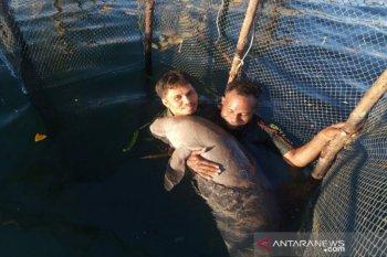BKSDA evakuasi ikan duyung temuan warga