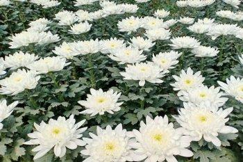 Sumut ekspor bunga krisan ke Jepang