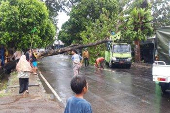 Sejumlah pohon di jalan raya Kota Ternate tumbang akibat angin kencang