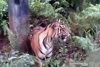 Harimau sumatera masuk permukiman warga Kecamatan Danau Kembar