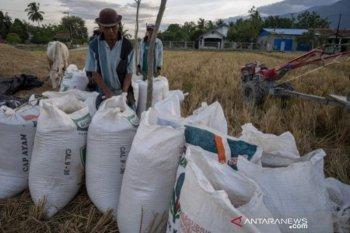 Hasil panen padi di Sigi turun akibat cuaca