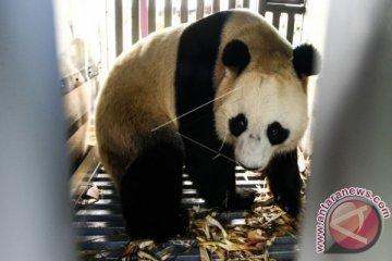 KEDATANGAN SEPASANG PANDA GIANT