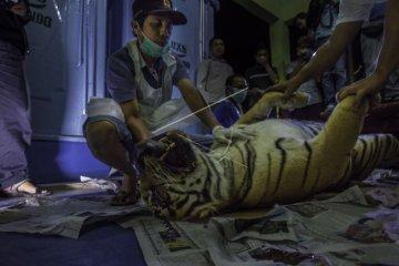 Harimau mati kena jerat di Riau