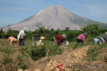 Panen Kentang di Sinabung