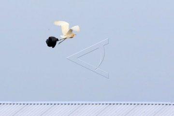 Burung Laut Terdampak Sampah Plastik