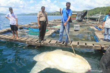 Ikan Mola-mola Terdampar