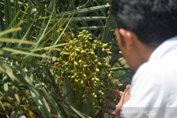 Kurma Benar-Benar Berbuah di Aceh