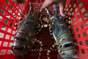 Lobster kualitas ekspor