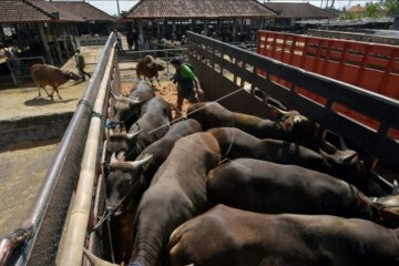 Penjualan sapi Bali terdampak COVID-19