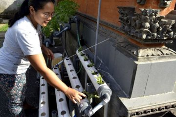 Warga Sangeh budidaya tanaman hidroponik akibat COVID-19