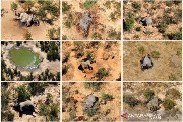 275 ekor gajah mati misterius masih diselidiki