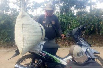 Petani Kopi Lampung sedang mengangkut hasil panen