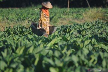 BPP tembakau Madura 2020