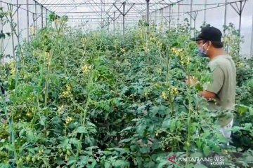 Melahap tomat cherry di kebun lereng Arjuno