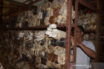 Budi daya jamur bertahan ditengah pendemi COVID-19