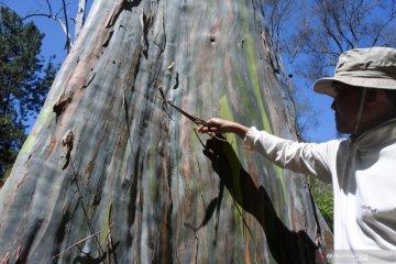 Pohon Eucalyptus Deglupta