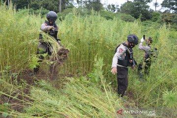 Pemusnahan ganja di Aceh Besar