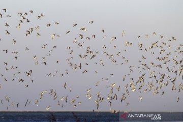 Migrasi burung pesisir utara