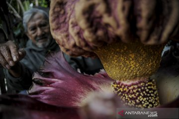 Bunga bangkai mekar di Bandung