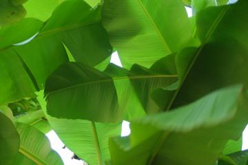 Ternyata daun pisang miliki banyak khasiat kesehatan