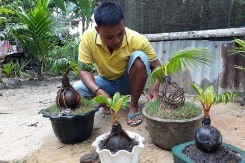 Berawal dari hobi, Sopian akhirnya seriusi bonsai kelapa