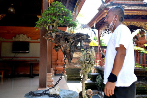 Bonsai Avatar viral di Bali