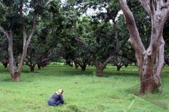 Pohon Mangga Raksasa, Ikon Desa Wisata Sukoharjo