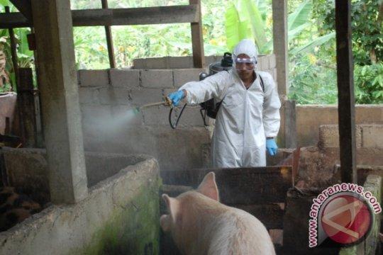 Balai Veteriner Lampung menemukan virus flu babi Afrika di Bangka