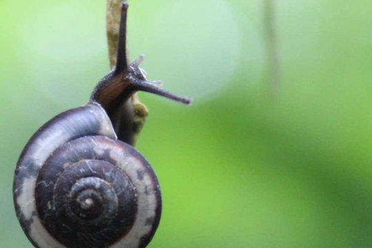 16 spesies baru keong darat asal Jawa ditemukan
