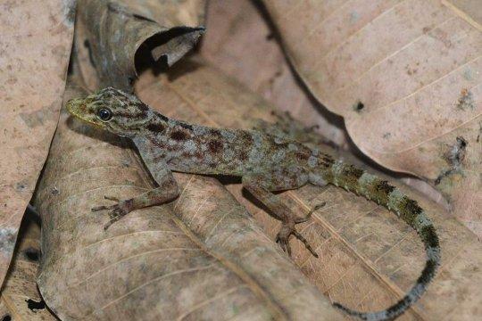 Cecak spesies baru ditemukan di Gunung Muria Kudus