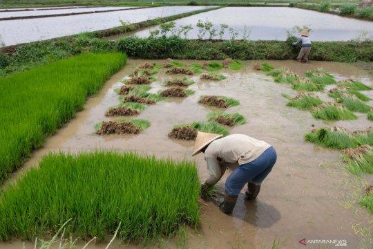 Pemkab Temanggung mendapat alokasi asuransi usaha tani padi 300 hektare