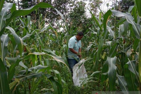 Dinas Pertanian Bangka Tengah manfaatkan area rawa jadi lahan pertanian