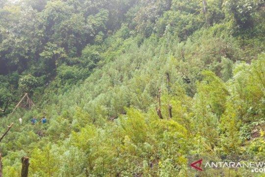 Polisi temukan lima hektar ladang ganja