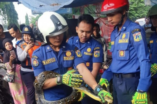 Seekor ular sanca batik dievakuasi petugas pemadam kebakaran dari dalam rumah warga